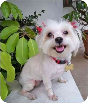 Maltese/Pomeranian Mix Dog for adoption in Los Angeles, California - TEQULIA