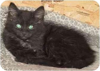 Domestic Mediumhair Kitten for adoption in Strathmore, Alberta - Whiskey