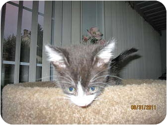 Domestic Shorthair Kitten for adoption in Catasauqua, Pennsylvania - Loki