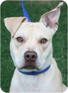 American Pit Bull Terrier Mix Dog for adoption in Yuba City, California - Chance
