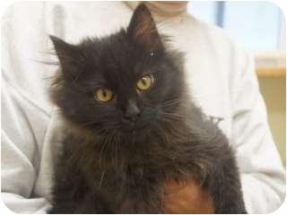 Domestic Mediumhair Kitten for adoption in Libby, Montana - Rose