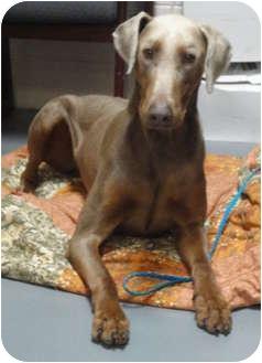 Doberman Pinscher Mix Dog for adoption in Spruce Pine, North Carolina - Smokey