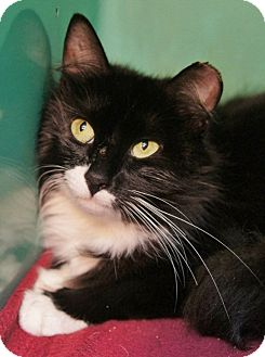 Domestic Longhair Cat for adoption in Medford, Massachusetts - Livia
