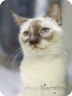Tonkinese Cat for adoption in Phoenix, Arizona - Luna