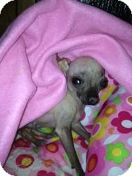 Mexican Hairless Mix Dog for adoption in Mesa, Arizona - Half Pint