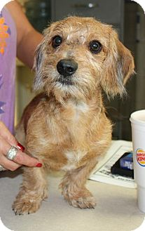 Dachshund/Terrier (Unknown Type, Small) Mix Dog for adoption in Beacon, New York - Cabana