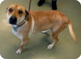 Labrador Retriever Mix Dog for adoption in Harrisonburg, Virginia - Baby