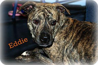 Plott Hound/Greyhound Mix Dog for adoption in kennebunkport, Maine - Eddie - PENDING, in Maine