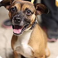 Adopt A Pet :: cartwheel - justin, TX