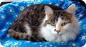 Domestic Longhair Cat for adoption in Battle Creek, Michigan - Whiskers