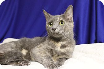 Domestic Shorthair Cat for adoption in Midland, Michigan - Gracie Anna