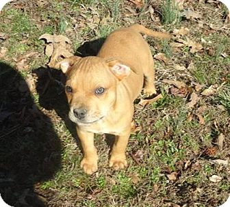Mastiff/Boxer Mix Puppy for adoption in Conway, New Hampshire - Bailey