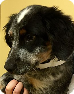 Australian Shepherd/Labrador Retriever Mix Puppy for adoption in Oswego, Illinois - I'M ADOPTED Kassidy Wiegandt