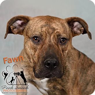 American Staffordshire Terrier/Boxer Mix Dog for adoption in Broadway, New Jersey - Fawn