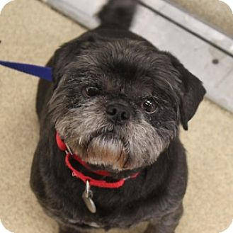 Shih Tzu/Pug Mix Dog for adoption in Naperville, Illinois - Teboo