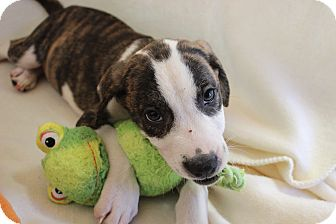 Labrador Retriever Mix Puppy for adoption in Saddle Brook, New Jersey - LONNIE