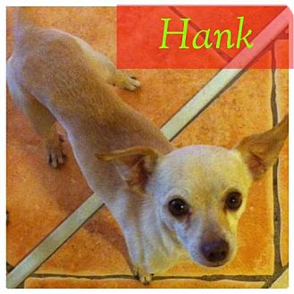 Chihuahua Dog for adoption in Phoenix, Arizona - Hank