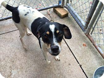 Rat Terrier/Cocker Spaniel Mix Dog for adoption in Walden, New York - Parker