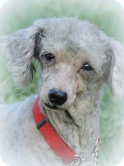 Poodle (Toy or Tea Cup) Mix Dog for adoption in Anderson, South Carolina - Gracie