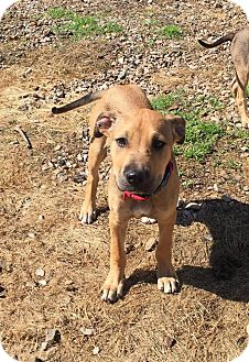 Terrier (Unknown Type, Medium) Mix Puppy for adoption in East Hartford, Connecticut - Isaac in CT