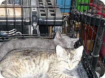 Domestic Shorthair Cat for adoption in San Antonio, Texas - Eliza (My Fair Lady)
