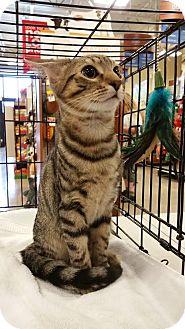 Domestic Shorthair Kitten for adoption in Burlington, North Carolina - Dragonfruit