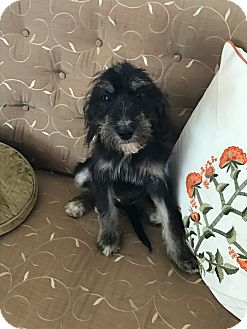 Poodle (Standard)/Fox Terrier (Wirehaired) Mix Puppy for adoption in Florence, Kentucky - Woodford