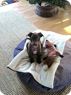 Catahoula Leopard Dog Mix Puppy for adoption in Middletown, Rhode Island - Birthday Cake