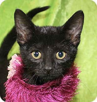 Domestic Shorthair Kitten for adoption in Jackson, Michigan - Ruby