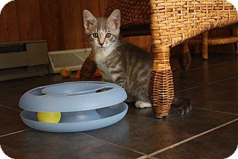 Domestic Shorthair Kitten for adoption in Warren, Ohio - Max