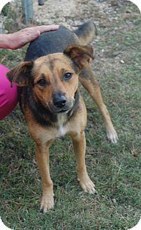 Australian Shepherd/Beagle Mix Dog for adoption in Manning, South Carolina - Sandi