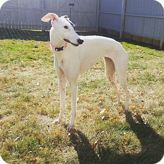 Greyhound Mix Dog for adoption in Glastonbury, Connecticut - Edgewood