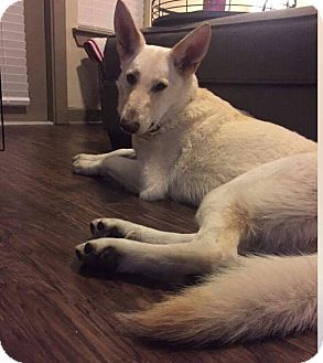 German Shepherd Dog Dog for adoption in Fort Worth, Texas - Scout