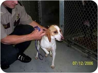 Beagle Mix Dog for adoption in Tiffin, Ohio - Light colored Beagle