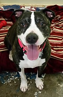 American Pit Bull Terrier Dog for adoption in Franklin, New Hampshire - Missy
