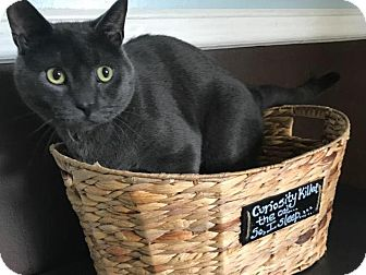 Russian Blue Cat for adoption in Algonquin, Illinois - Gilbert