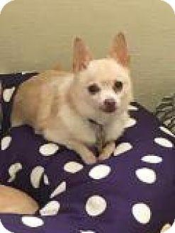 Chihuahua Mix Dog for adoption in Mechanicsburg, Ohio - Tiki