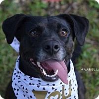 Adopt A Pet :: Arabella - Independence, MO