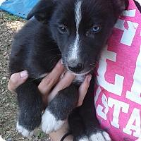 Adopt A Pet :: Jolene - Burlington, VT
