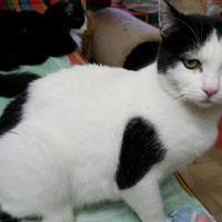 Adopt A Pet :: Dice (FELV +) - Mesa, AZ