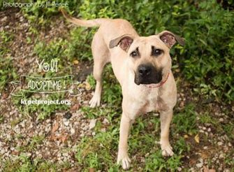 Shepherd (Unknown Type) Mix Dog for adoption in Kansas City, Missouri - Yoli