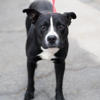 American Pit Bull Terrier Mix Dog for adoption in Fresno CA, California - Tahoe