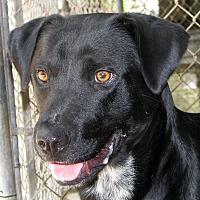 Labrador Retriever/Blue Heeler Mix Dog for adoption in Ruidoso, New Mexico - Buster