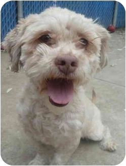 Poodle (Miniature)/Shih Tzu Mix Dog for adoption in Chicago, Illinois - Sammy*ADOPTED!*