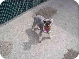 Miniature Schnauzer Mix Dog for adoption in Spokane, Washington - Sadie