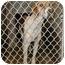 Photo 2 - Foxhound/Hound (Unknown Type) Mix Dog for adoption in Phoenix, Arizona - Hector