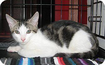 Domestic Shorthair Kitten for adoption in Houston, Texas - Ralphie