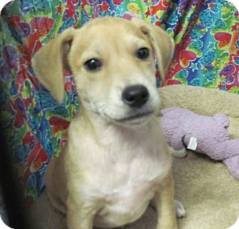 Chihuahua/Terrier (Unknown Type, Small) Mix Puppy for adoption in Lexington, Kentucky - Chewie