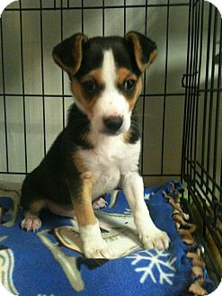 Jack Russell Terrier Mix Puppy for adoption in Hammond, Louisiana - Keno