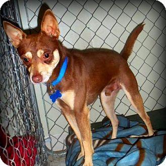 Chihuahua Mix Dog for adoption in Concord, North Carolina - Bandit